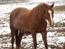 Den bruna hästen på vinter betar Royaltyfri Foto