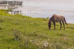 Den bruna hästen seglar utmed kusten på av laken - Ostroh, Ukraina. Royaltyfri Fotografi
