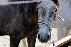 Den bruna hästen ser dig royaltyfria foton