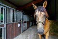 Den bruna hästen står i en ladugård arkivbild