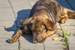 Den bruna håriga gulliga hunden, byracka ligger på trottoaren fotografering för bildbyråer