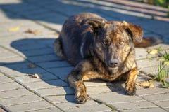 Den bruna håriga gulliga hunden, byracka sitter på trottoaren royaltyfria bilder