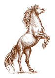 Den bruna hästen som fostrar på den bakre klöven, skissar ståenden Royaltyfria Bilder