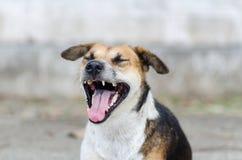 Den bruna hunden öppnar munnen och gäspning Arkivfoton