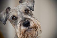den bruna hunden eyes miniatyrschnauzeren Arkivbild