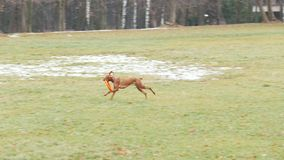 Den bruna hunden kör med leksaken i hösten parkerar stock video