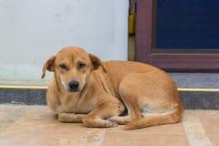 Den bruna hunden ligger ner på jordningen Arkivbild