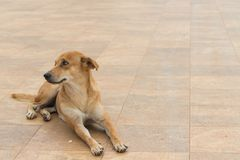 Den bruna hunden ligger ner på jordningen Arkivfoton
