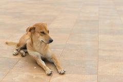 Den bruna hunden ligger ner på jordningen Royaltyfria Foton