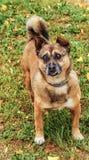 Den bruna hunden ser in i ögonen Arkivfoto