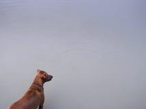 Den bruna hunden står med en stark slagställning Arkivbild