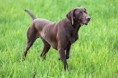 Den bruna jakthunden freezed i posera som luktar vildfågeln i det gröna gräset shorthaired tysk pekare Royaltyfri Bild