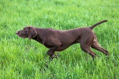 Den bruna jakthunden freezed i posera som luktar vildfågeln i det gröna gräset shorthaired tysk pekare Royaltyfri Foto