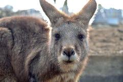 Den bruna kängurun är stirrig på dig Arkivbilder