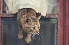 Den bruna katten får ut ur fönstret Arkivbilder