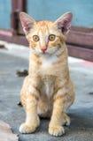 Den bruna kattungen sitter på golv Royaltyfri Bild