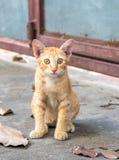 Den bruna kattungen sitter på golv Royaltyfri Fotografi