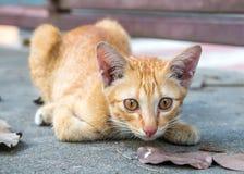 Den bruna kattungen sitter på golv Royaltyfria Foton