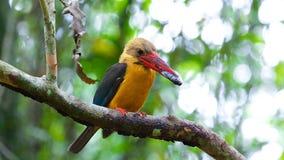 den bruna kingfisheren påskyndade royaltyfri foto