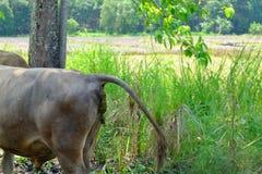 Den bruna kon är anal avföring Kon defekerar anal fece för ko royaltyfria foton