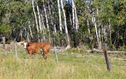 Den bruna kon betar in Arkivbilder