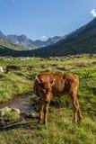 Den bruna kon på ett berg betar i sommar Arkivbild
