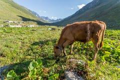 Den bruna kon på ett berg betar i sommar Royaltyfri Bild