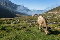Den bruna kon på ett berg betar i sommar Royaltyfria Foton