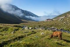 Den bruna kon på ett berg betar i sommar Arkivbilder