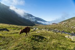 Den bruna kon på ett berg betar i sommar Fotografering för Bildbyråer