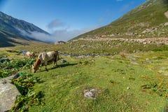 Den bruna kon på ett berg betar i sommar Royaltyfri Fotografi