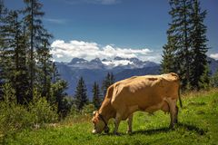 Den bruna kon som betar på, betar av högländer i berg Royaltyfri Fotografi