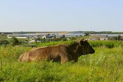 Den bruna kon som ligger i lantgård, betar Royaltyfria Foton
