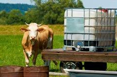 Den bruna kvinnliga kon står vid ett vattenställe i solig varm dag på en äng Royaltyfria Bilder