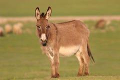 Den bruna lösa åsnan på gräsplanen betar Royaltyfri Fotografi