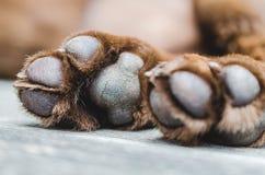 Den bruna labrador hunden tafsar closeupskottet royaltyfri bild
