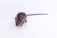 Den bruna musen, gnagare, tjaller Arkivbilder