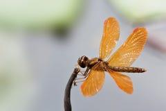 Den bruna orange sländan med spridning påskyndar closeupen som vilar på en liten pinne Royaltyfri Foto