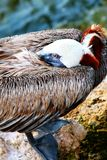 Den bruna pelikan på vilar Royaltyfri Fotografi
