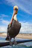 Kalifornien pelikan royaltyfri foto
