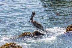 Den bruna pelikan (Pelecanusoccidentalis) sätta sig på en vagga royaltyfri bild