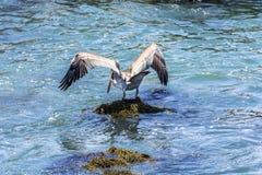Den bruna pelikan (Pelecanusoccidentalis) sätta sig på en vagga arkivfoton