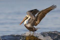 Den bruna pelikan som använder dess vingar för jämvikt som en våg, kraschar över Royaltyfri Fotografi