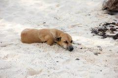 Den bruna Shorthair hunden sover på kusten på den vita sanden Begreppet av vilar och avkoppling arkivbilder