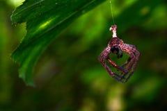 Den bruna spindeln är på spindelnätet Arkivfoton