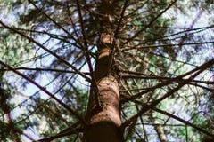 Den bruna stammen av sörjer trädet och filialer Nedersta sikt av s?rjatr?det Se på gräsplanen sörjer ner arkivbild