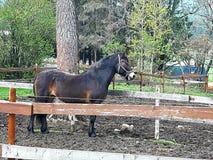 Den bruna stolta hästen som väntar på, kommer ut på ängen royaltyfri bild