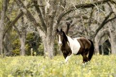 Den bruna & vita hästen i nedgång betar Arkivfoto