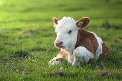 Den bruna vita kalven på det blom- betar Royaltyfria Foton