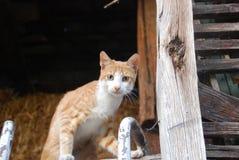 Den bruna vita katten Royaltyfria Bilder